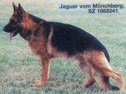 Jaguar vom Mönchberg